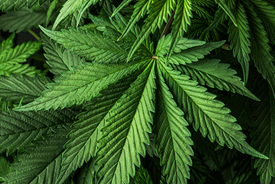 Crypto-Cannabis Collaboration: Implications and Considerations